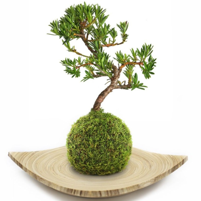 Deluxe  pine  Bonsai  tree tray on bamboo tray