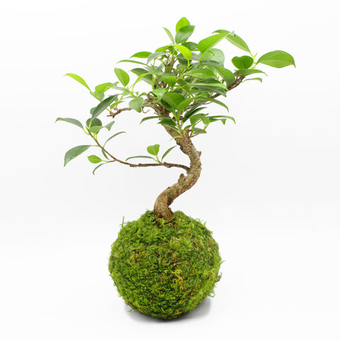 Ficus Ginseng Kokedama Tranquil Plants