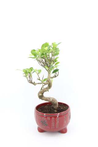 Ficus Bonsai Red Pot