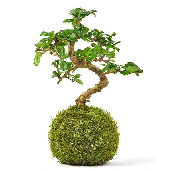 Bonsai tree Tranquil plants