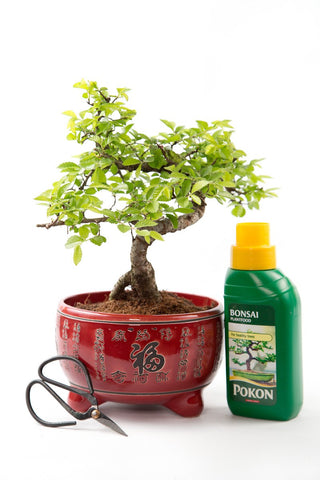 Christmas Beginner's Chinese Elm Bonsai Kit