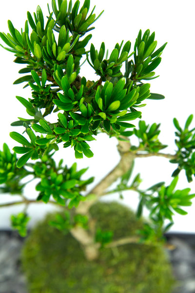 Pine leaves Bonsai