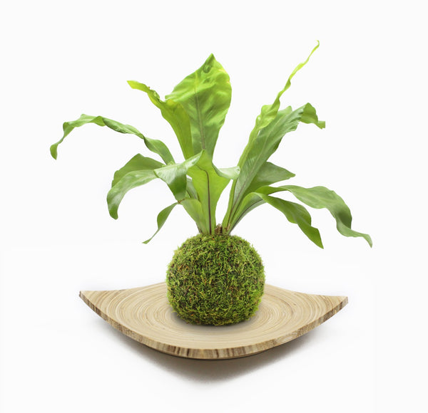 Kokedama fern on bamboo tray