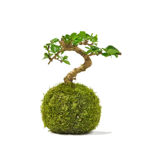 mini  bonsai tree kokedama