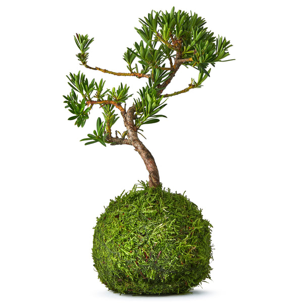 Deluxe pine bonsai tree