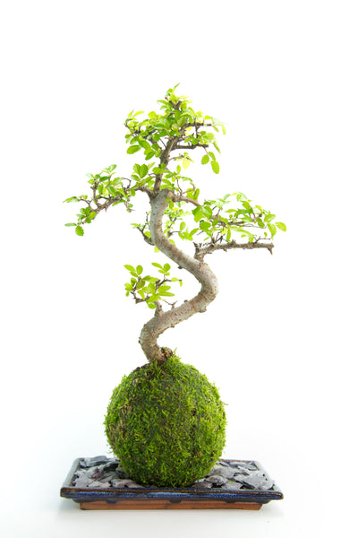 Chinese Elm Bonsai Tree Kokedama Tranquil Plants UK