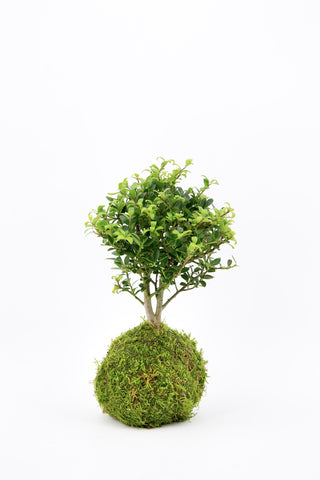 Kokedama Holly Tree