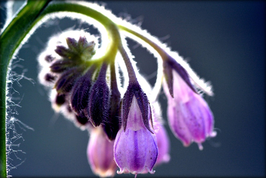 Why Comfrey Comforts