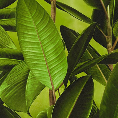 Large Print Banana Leaf Effect Wallpaper | Green - Your 4 Walls
