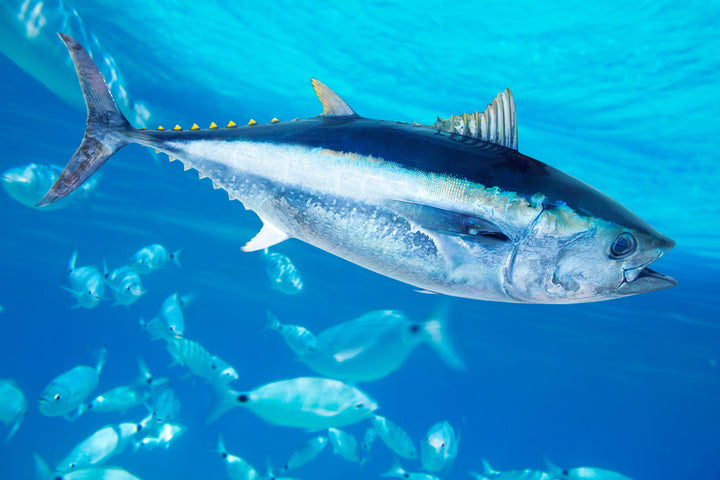 yellow fin tuna swimming with a school of fish