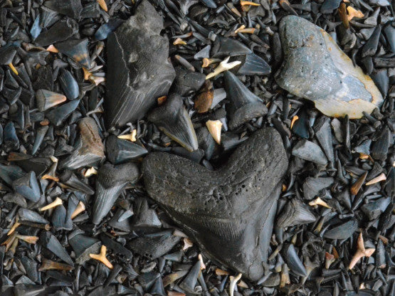 "Puzzle ""Fossilized Shark Teeth"""
