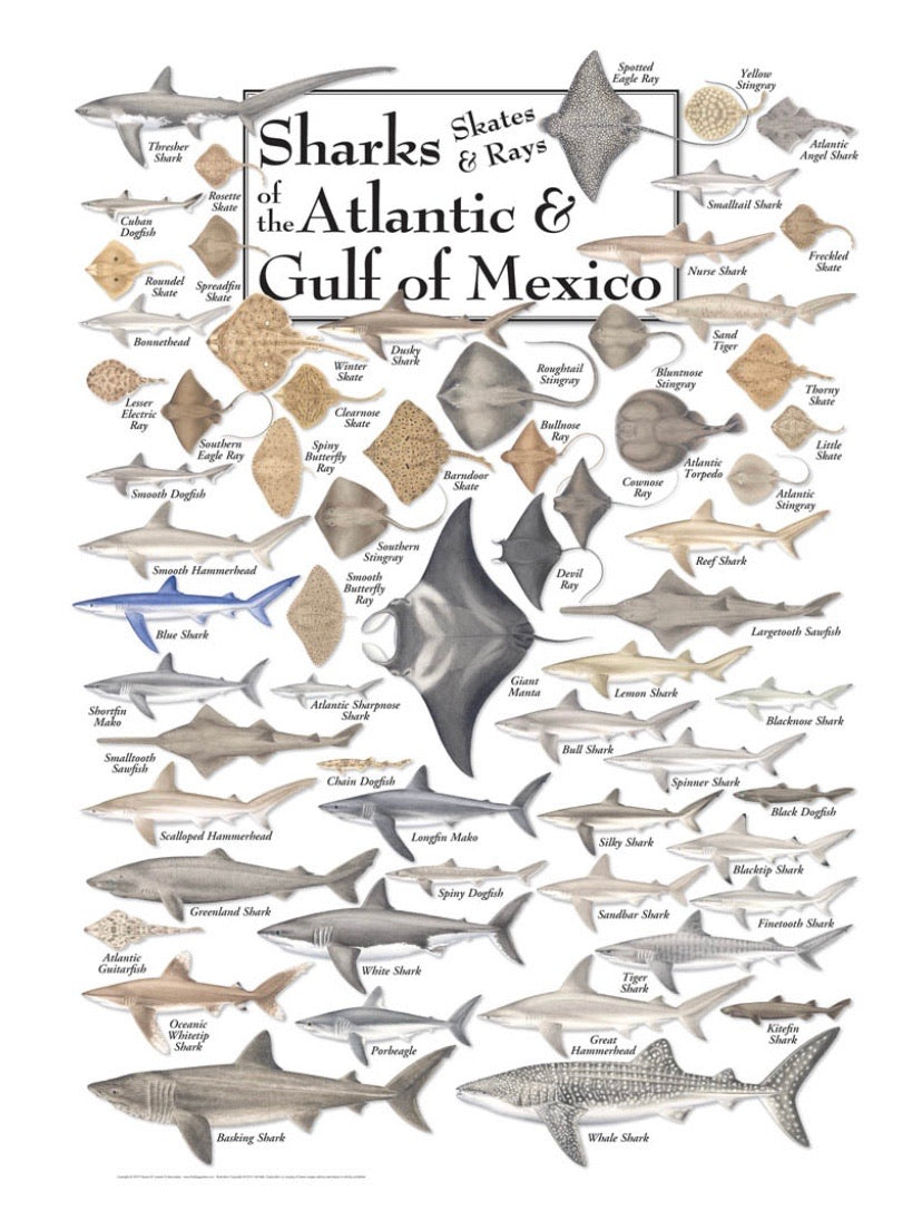 "Puzzle ""Sharks of the Atlantic"""