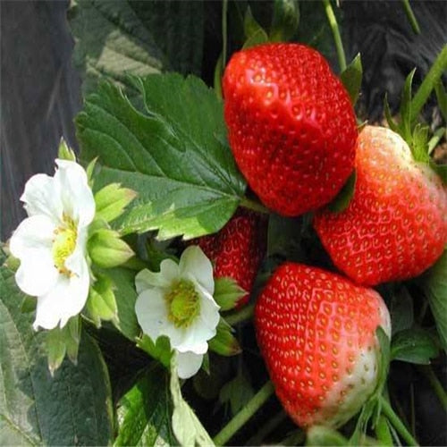 Plant Fruits Bath Salts Beautiful Yellow Strawberry Essence Hot Sale SG-04-C 230Pcs