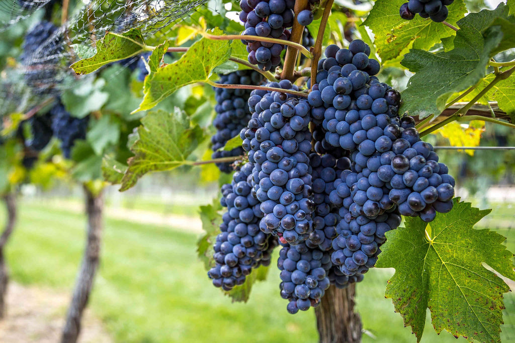A Primer on Pinot Noir in the Vineyard