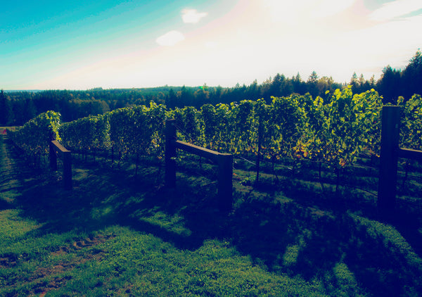 Bayernmoor Estate Pinot Noir Vineyard Stanwood Washington