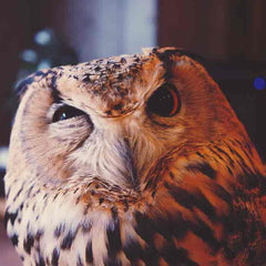 Picture of the owl for the blog post about curiosity by Zenagoy
