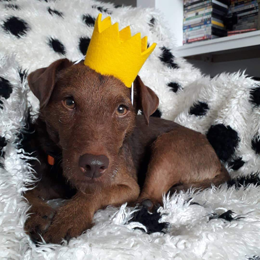 dog party hat crown