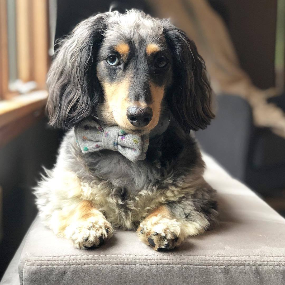 cute dog bowtie uk