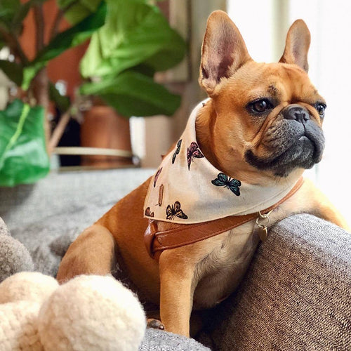 bandana for french bulldog