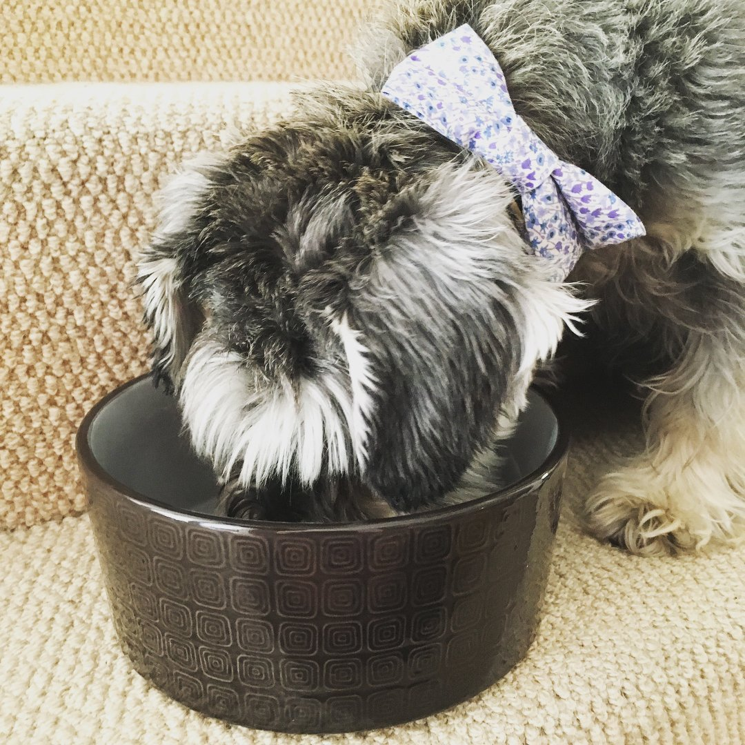 food bowl for a schnauzer