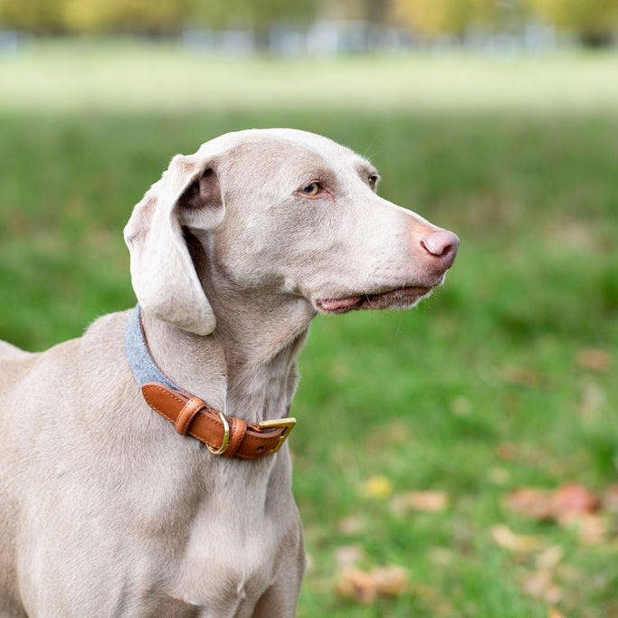 Light Grey dog collar