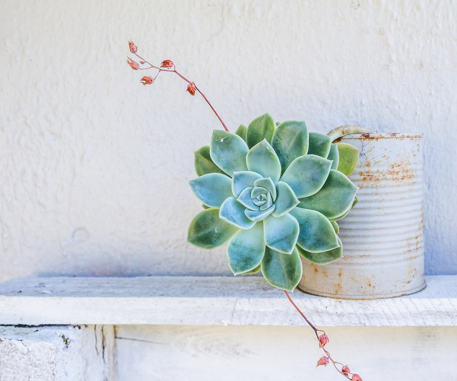 Photo of a Graptopetalum succulent pot plant against a white wall