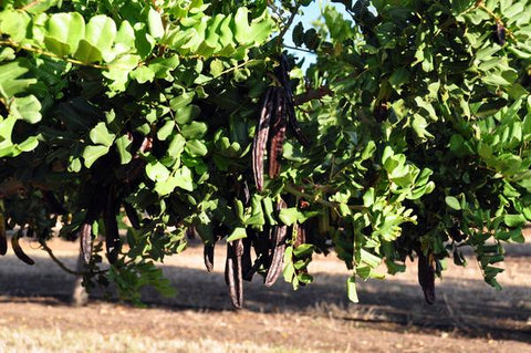 an image of a carob tree with hanging fruits
