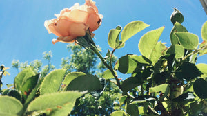 I Choose Compassion - A Roseylicious Life mental health blog post - single peach apricot rose pic