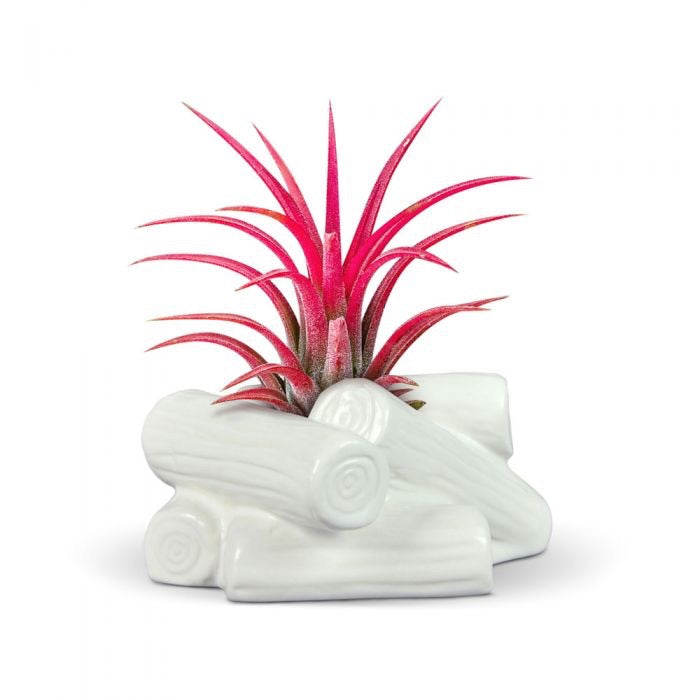 Fancy Plants Campfire Airplant holder