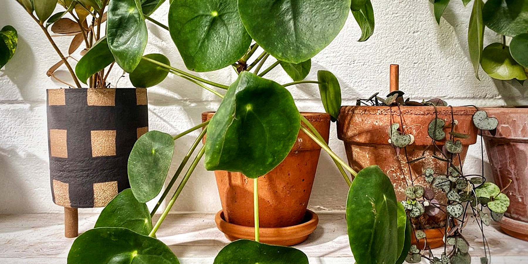 Pilea Peperomioides: A Plant Care Guide