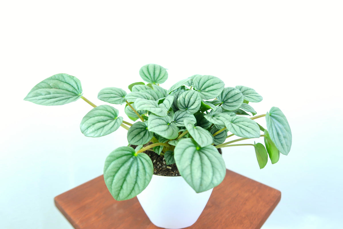 Peperomia in 3D Printed Pots that are Biodegradable