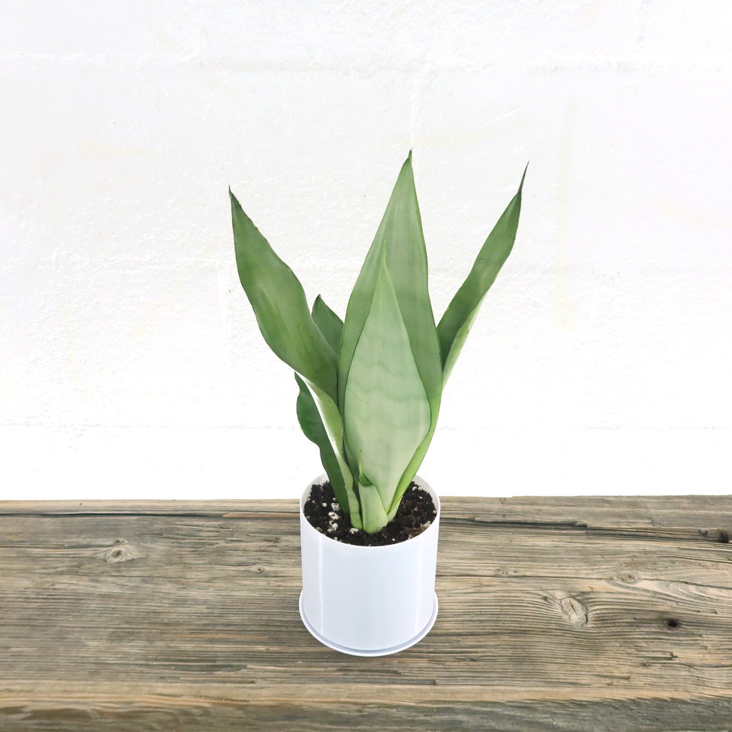 Medium Rare Snake Plant (Sansevieria Moonshine) in 4