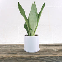 "Medium Rare Snake Plant (Sansevieria Moonshine) in 4"" Cylindrical 3D Printed BioPot™"