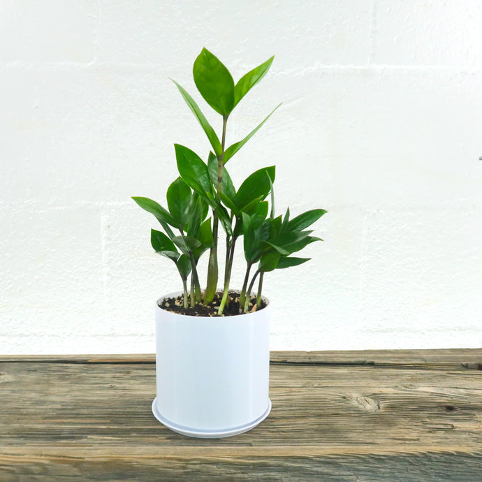 Medium ZZ Plant (Zamioculcas Zamiifolia) in 4