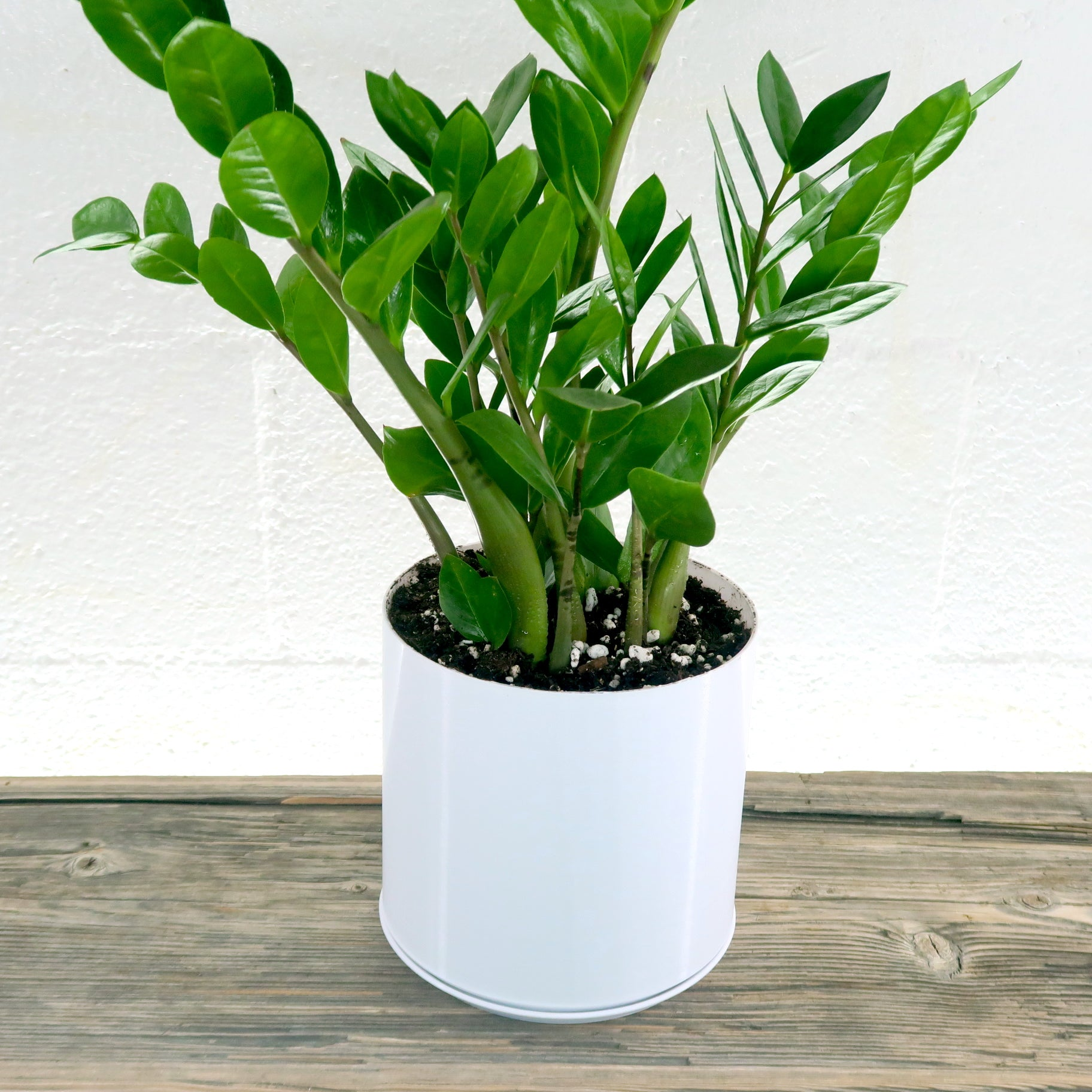 """Large ZZ Plant (Zamioculcas Zamiifolia) in 6"""" Cylindrical 3D Printed B –  Pretty in Green"""