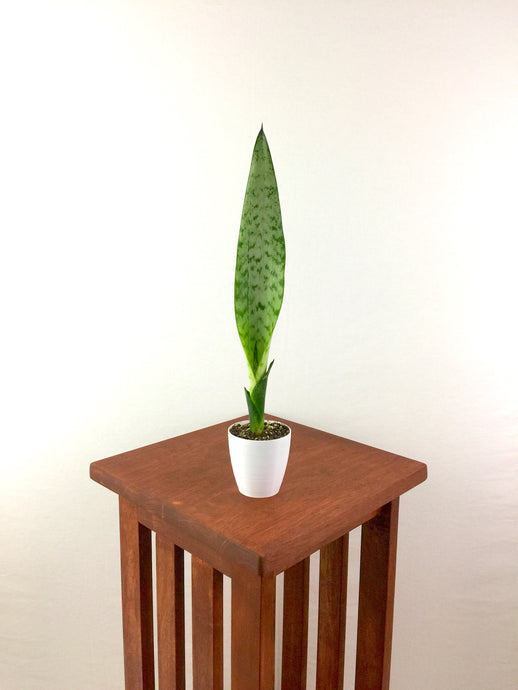 Baby Snake Plant (Sansevieria) Air Purifying Plant, EasyCare Live Houseplant, Housewarming, Birthday, Gift for Her, Gardening