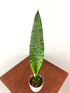 "Baby Snake Plant (Sansevieria) in 3"" 3D Printed BioPot™"