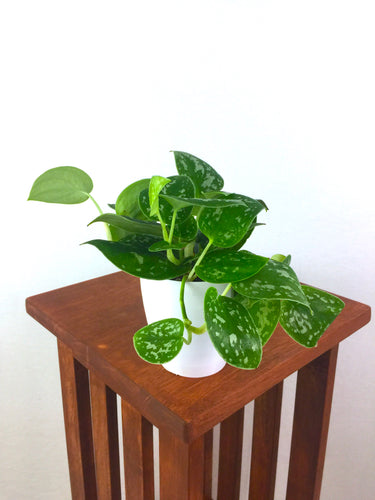 Silver Satin Pothos - Live Air Purifying Houseplant - Pretty in Green Plants