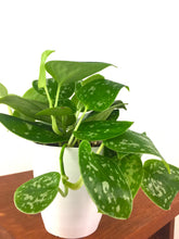 Satin Pothos - Live Air Purifying Houseplant - Pretty in Green Plants