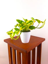 N'Joy Pothos - Air Purifying Live Plant - Houseplant - Pretty in Green Plants