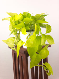 Large Neon Pothos - Air Purifying Indoor Plant - Live Houseplant - Pretty in Green Plants