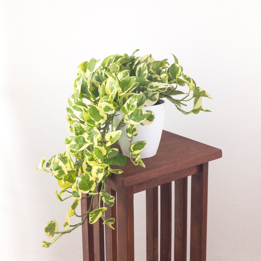 Large Pothos N'Joy - Air Purifying Indoor Plant - Live Houseplant - Pretty in Green Plants