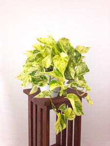 Large Pothos Marble Queen - Live Air Purifying Plant in 3D Printed BioPot