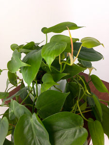 Large Philodendron Heartleaf Live Air Purifying in 3D Printed BioPot