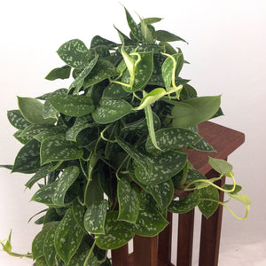 "Large Satin Pothos (Scindapsus Pictus) in 6"" 3D Printed BioPot™"