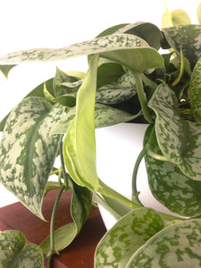 Large Silver Splash Pothos - Air Purifying Indoor Plant - Live Houseplant - Pretty in Green Plants