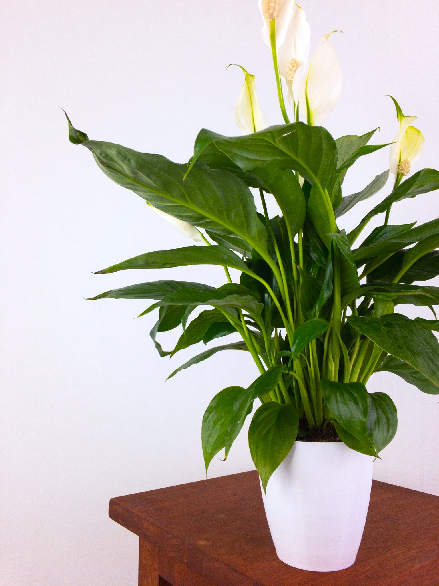 Peace Lily Air Purifying Plant Pretty In Green Plants