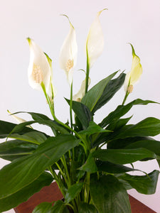 Peace Lily Air Purifying Plant - Pretty in Green Plants
