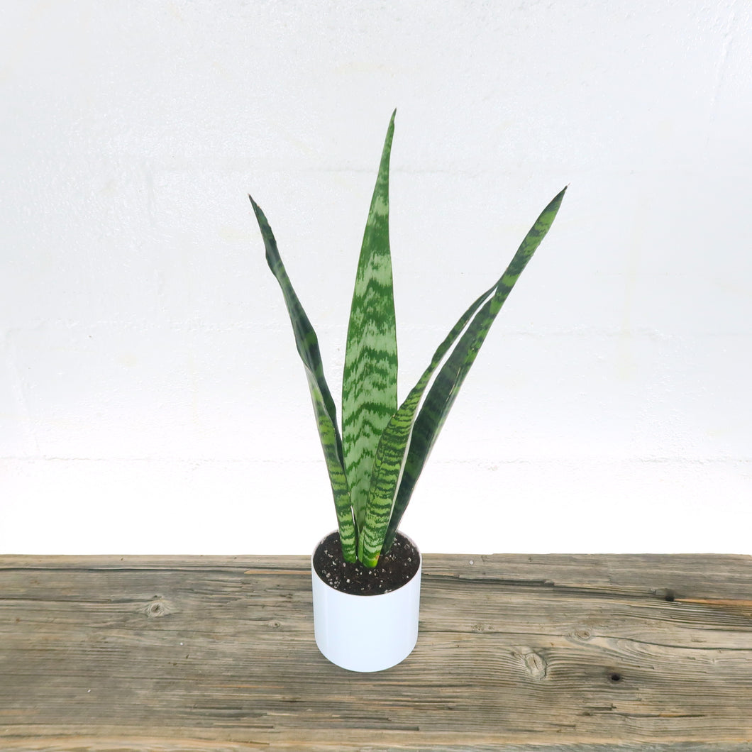 Medium Black Coral Snake Plant (Sansevieria) in 4