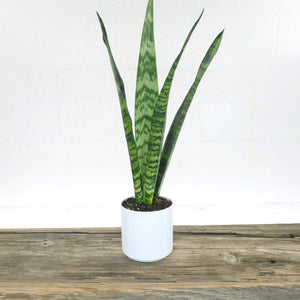"Medium Black Coral Snake Plant (Sansevieria) in 4"" Cylindrical 3D Printed BioPot™"
